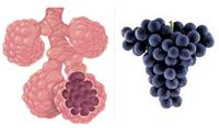 Sok szőlő tüdő egészségesebbé teszi a tüdőt és segít küzdeni a tüdőbetegségek a rák és az asztma ellen.