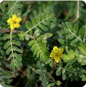 Pénisz növelés, Pénisznövelés, Pénisz növelő, Pénisznövelő, Pénisznövelő tabletta garancia tribulus