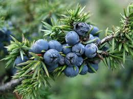 gyógynövények hatásai: Boróka A középkorban szinte mindenre jónak tartották: fejfájás, vese- és hólyagbetegségek, tüdőbaj és láz csillapítására.